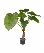 Alocasia calidora 80 cm