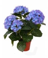 Blauwe namaak hortensia in pot 36 cm