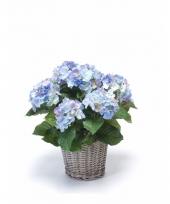 Buitenplant hortensia blauw 45 cm