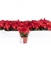 Kerststerren in potje 20 cm