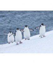 Poster pinguins 61 x 92 cm