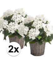 Tuinplant hortensia wit 45 cm 2 stuks