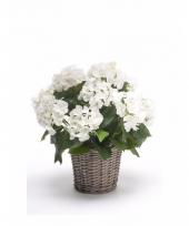 Tuinplant hortensia wit 45 cm